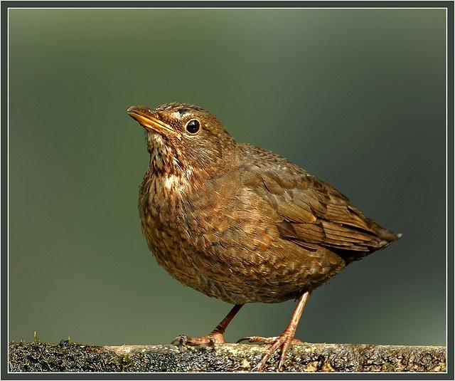 Shortie the female blackbird (turdus merula) by hawkgenes, via Flickr