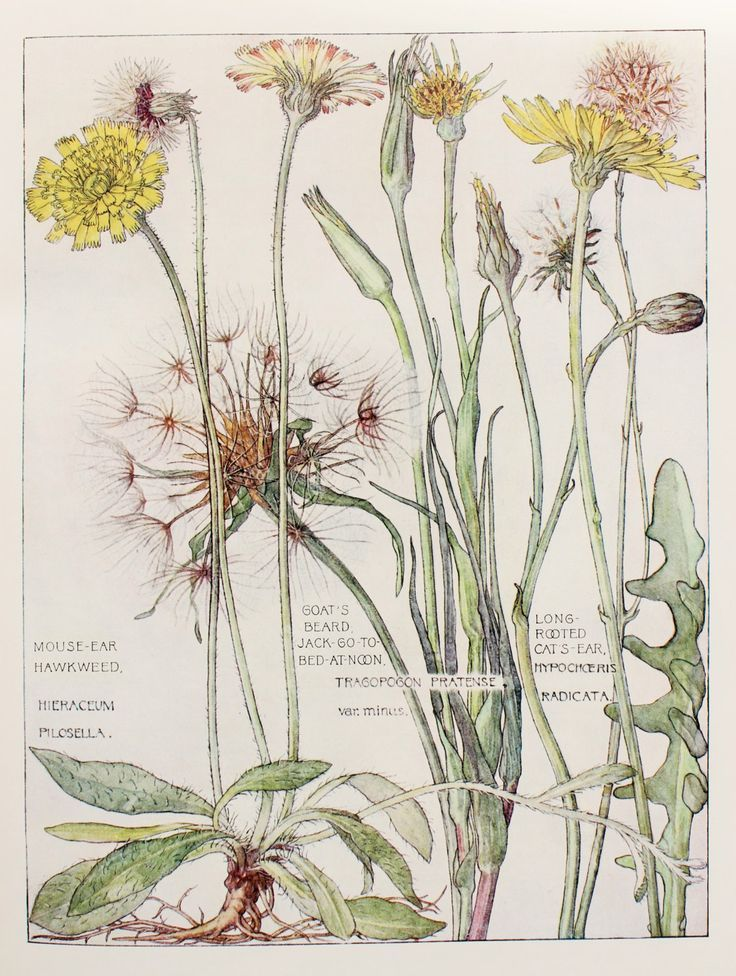 Diente de león  1910 Botanical Print by H. Isabel Adams: Daisy by PaperPopinjay: