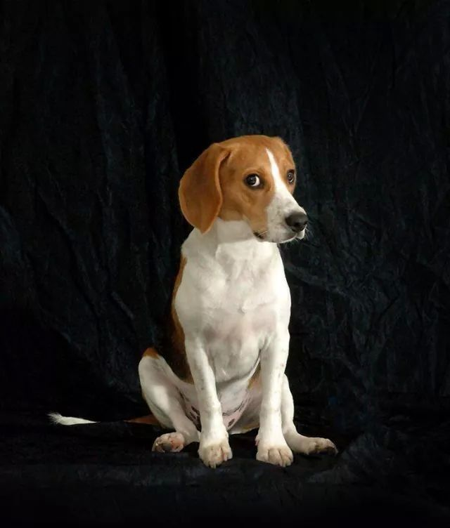 10 Reasons Why You Should NEVER Own A Beagle