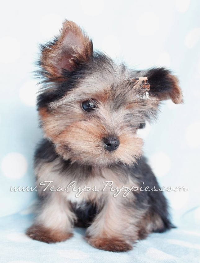 toy yorkie by teacupspuppies.com