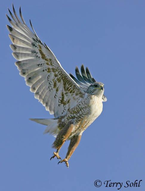 Ferruginous Hawk - Buteo regalis