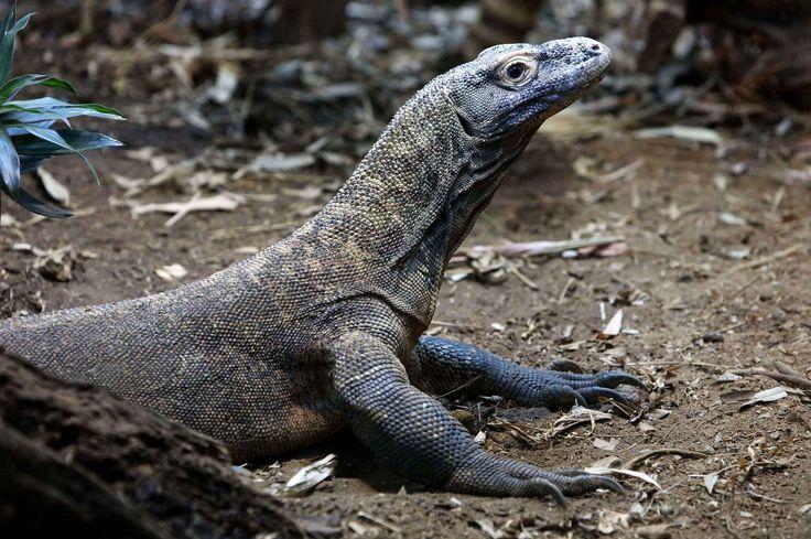 Un dragon de Komodo du zoo de Londres.