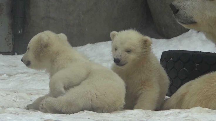 Белые медвежата в Московском зоопарке / Polar Bear Cubs in Moscow Zoo