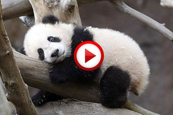 Panda Baby Waking Up Mom Video #animals, #cute, #bears, #pandas, #zoos, #videos, https://apps.facebook.com/yangutu
