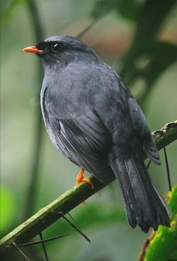 Portal Guatemala Fotografías de Aves