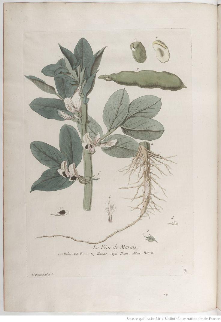 Fève de marais, La botanique mise à la portée de tout le monde... Exécuté et publié par les Sr et De Regnault.... Tome 1   1774