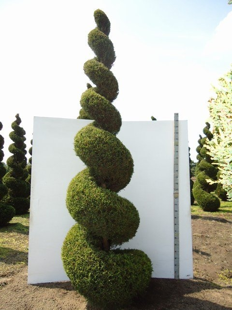 1000 images about tolle gartenpflanzen in spiral form on pinterest taxus baccata buxus and. Black Bedroom Furniture Sets. Home Design Ideas