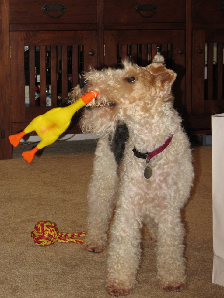 635 besten Wire Fox Terrier Bilder auf Pinterest | Tiere, Hunde und ...