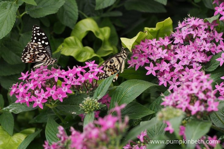 Two Chequered Swallowtail butterflies, also known by their scientific name of Papilio demoleus, pictured feasting on Pentas lanceolata flowers, inside the Butterfly Dome, at the RHS Hampton Court Palace Flower Show 2017.