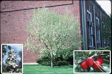 Jardin Jasmin: MALUS DOLGO H:6 à 10m L:5 à 8m  Arbre ayant une cime largement arrondie. Boutons floraux roses et fleurs blanches simples, parfumées. La floraison est plus abondante une année sur deux. Feuillage vert brillant tournant au jaune à l'automne. Il produit un fruit rouge poupre (3,8cm) qui murît en juillet et tombe à la fin d'août. Ses fruits sont comestibles et sont utilisés pour faire de la gelée.