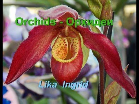 ORCHIDS - ОРХИДЕИ