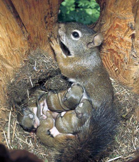 Une Maman Ecureuil dans sa Cachette et ses tout jeunes Petits