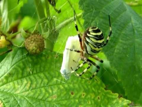 Pająk Tygrzyk Paskowaty atakuje motyla