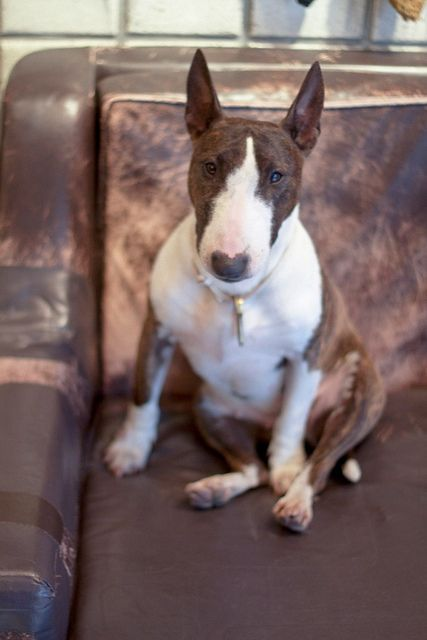 bull terrier - I almost adopted one at the humane society. He was mutilating himself cuz he was so terrified.