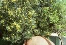 How to Plant & Care for Sweet Olive Trees | Home Guides | SF Gate