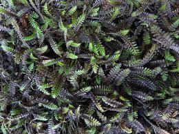 Leptinella - Platts Black