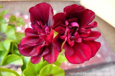 Ogrodnictwo od A do Z: Pelargonie- zróżnicowane piękno na naszym balkonie...
