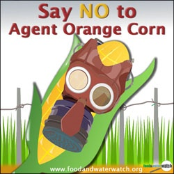 This corn is genetically engineered to be sprayed with 2,4-D - an ingredient of Agent Orange! Yuck.