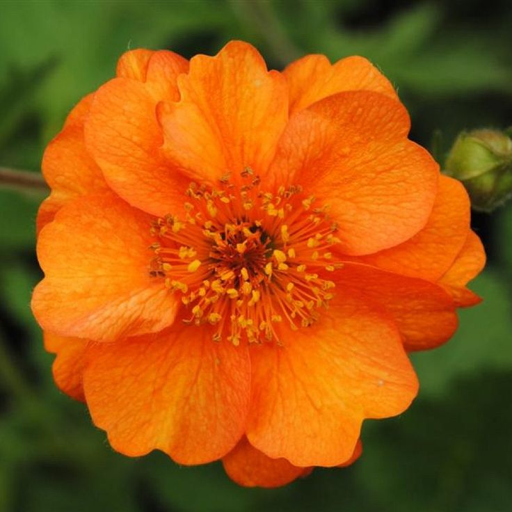 'Prinses Juliana' Geum | geum prinses juliana avens geum