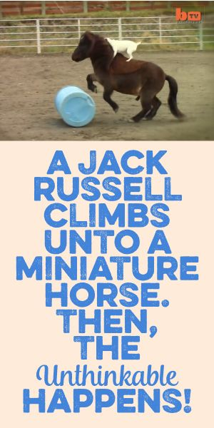 A Jack Russell Climbs Unto A Miniature Horse Then The Unthinkable Happens!!!