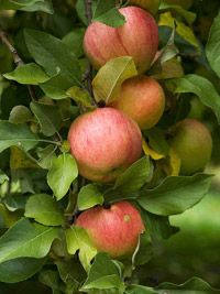 Top Fruit Trees for the Midwest?  Apples and Asian pears.Gardens Ideas, Trees Promise, Landscapes Ideas, Tops Fruit, Great Taste Fruit, Provider Lot, Midwest Fruit Trees, Harvest Time, Yards Ideas