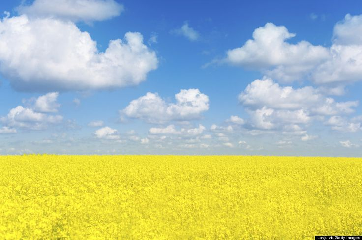 A field of canola flowers, which are used for canola oil production in Ukraine's countryside (Getty)