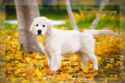 Puppies / Щенки - Gold Kiss Lady Luck питомник щенки золотистого ретривера