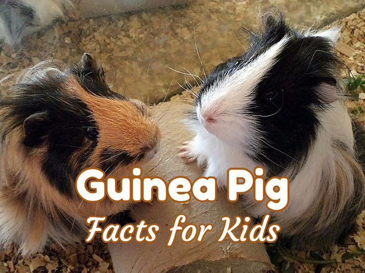 guinea pig facts for kids and adults