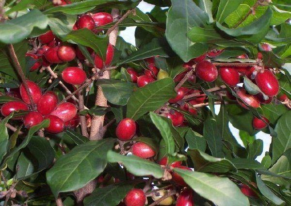 Fruta do Milagre - O Milagre do Sabor