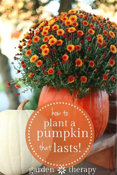 Pick the most firm and cleanest pumpkin you can find to ensure it will last. Then keep your pumpkin planter looking festively gorgeous by following these other pumpkin planting tips from Garden Therapy.