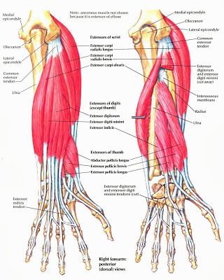 Anatomy Forearm | Anatomy Picture Reference and Health News
