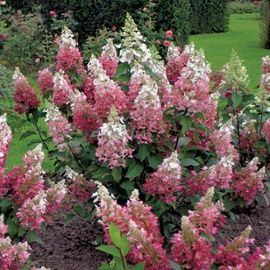 Hydrangea pinky winky