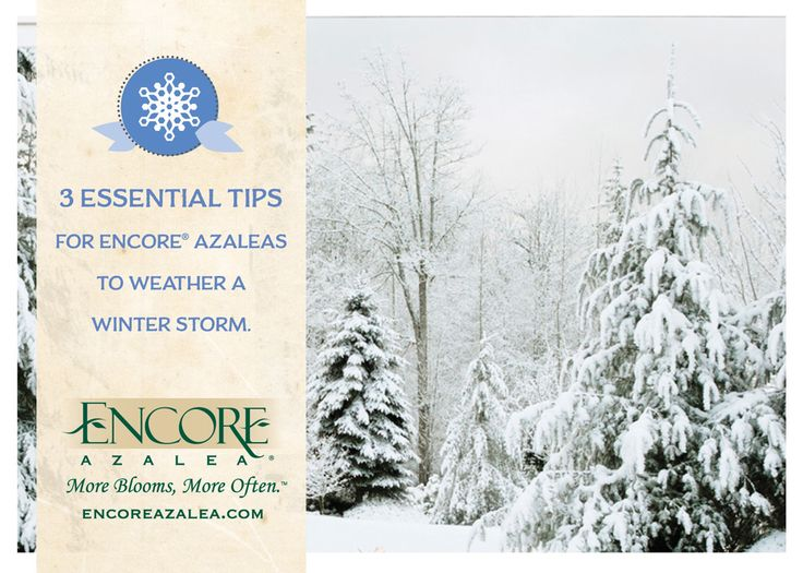Protect Your Encore Azaleas This Winter Season With These Three Essential  Tips: