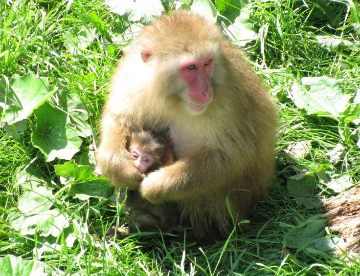 Macaque japonais, guenon protégeant son petit