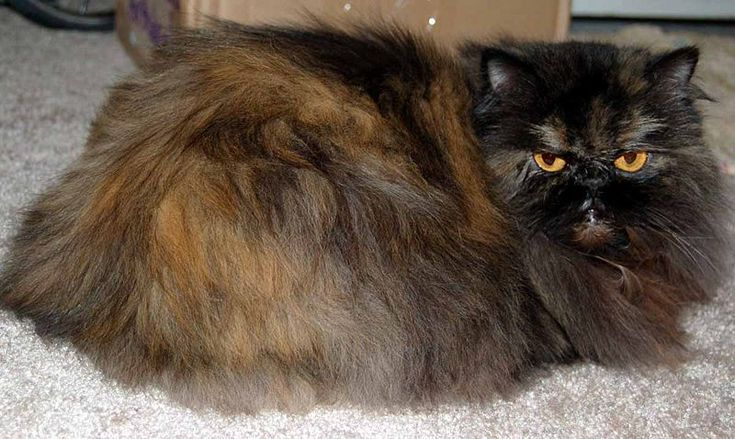 The Small Cat Breeds of the World - #cat - Different Tiny Cat Breeds at Catsincare.com!