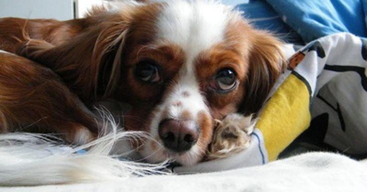 La vitamina B6 como diurético para perros con insuficiencia cardiaca congénita. Dos condiciones del corazón: cardiopatías congénitas e insuficiencia cardíaca congestiva. La primera describe un defecto estructural del corazón al nacer. La última (insuficiencia cardíaca congestiva) es la condición por la cual un veterinario recomienda utilizar vitamina B6 como diurético. Ésta afecta todas las razas caninas, independientemente ...