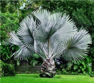 Bismarckia Nobilis (Bismark Palm) - native to western and northern Madagascar - grows to 12m in cultivation