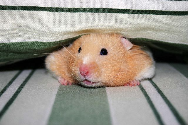 Cute hamster images, We in general get the opportunity to be confused when we encounter some savage animals as they are endeavoring to strike us. However, y