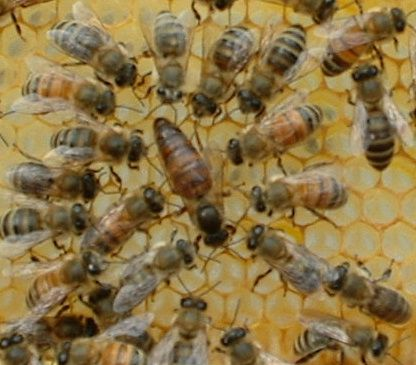 Italian: Italians are the most widely distributed race of honeybees. These are the honeybees that I have in my hive as of right now. They are yellow and brown in color with distinct dark bands, lik…