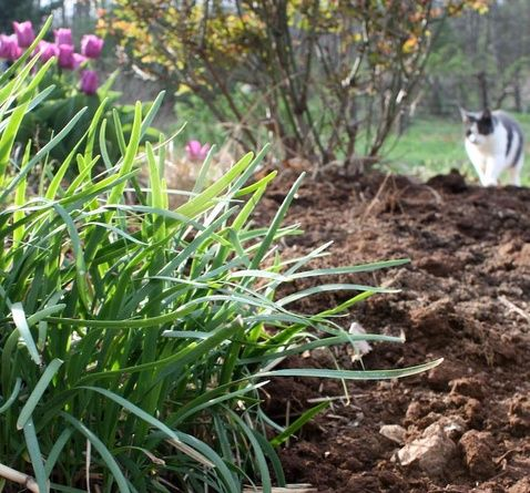 Keeping garlic chives under control is essential to finding happiness with this rewarding plant