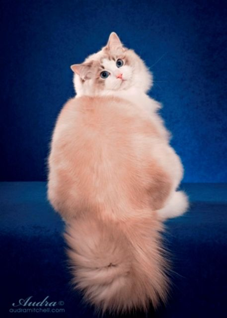 Purebred Adult Male Ragdoll Cats For Sale | Riterags Ragdolls