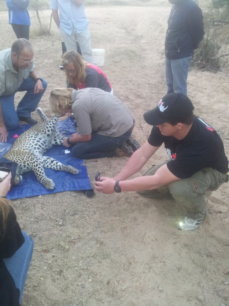 Stormers Rugby Player - Deon Fourie assisting with the Leopard collaring