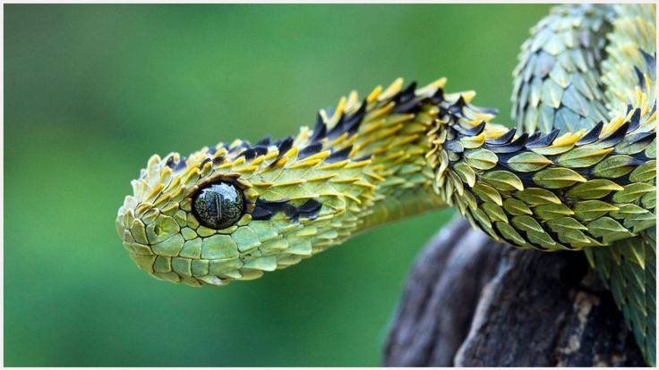 Bush Viper Snake Wallpaper   bush viper snake wallpaper