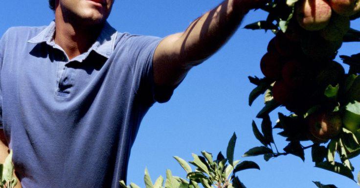 Crecimiento de las semillas de manzana. Comenzar un manzano a partir de semillas es un proyecto placentero para un jardinero doméstico y puede ser un proyecto de ciencia perfecto para niños de escuela primaria. Los niños encuentran excitante guardar semillas de las manzanas que están comiendo y luego ver árboles diminutos desarrollándose con el tiempo. No es difícil germinar semillas de ...