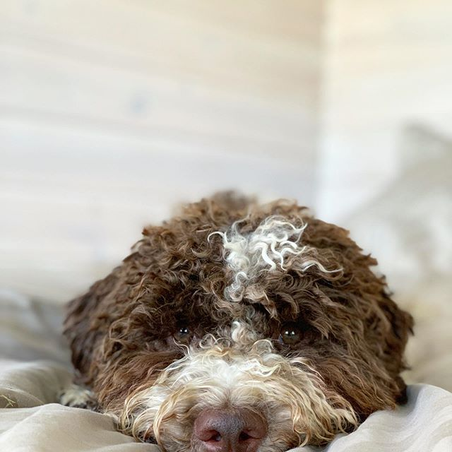 14 Facts You Need To Know About The Lagotto Romagnolo Page 2 Of 3 Petpress In 2020 Lagotto Romagnolo Rare Dog Breeds Best Dogs For Families