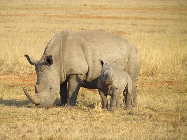 South African Rhino Poaches Approaching Deadly Record