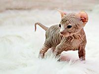 Le razze di gatti più costose al mondo ( il costo della numero 9 è folle ) scopri foto