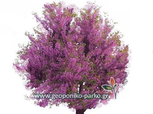Ανθοφόρα - Καλλωπιστικά δέντρα : Κουτσουπιά δέντρο - Γλ 7 lt - Cercis siliquastrum