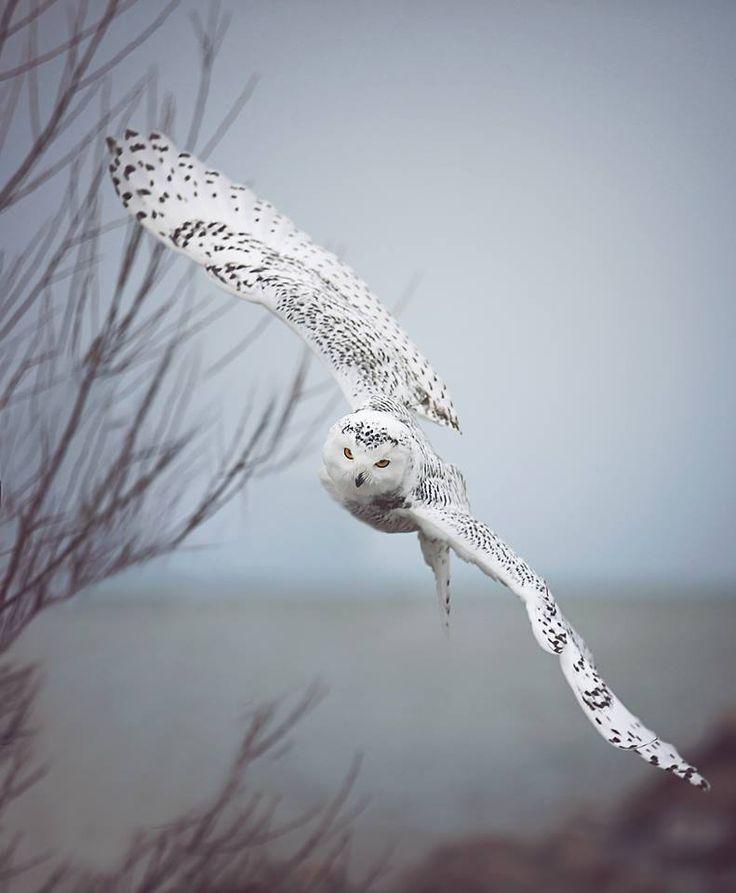Snowy owl on a misty day by Carrie Ann Grippo-Pike