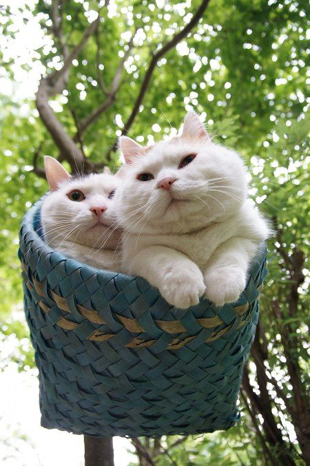 CyBeRGaTa - Cats, Memes, New Mexico — A basket full of Mimi and Shironeko